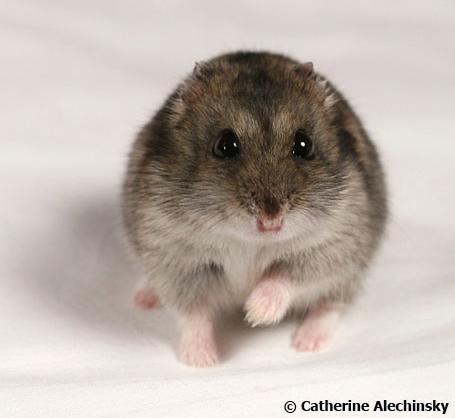 Маленький и грубый хомячок!  Милое и нежное животное,маленькое и хрупкое.